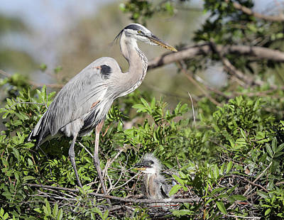 Photograph - Great Blue Heron Nest And Chick by Jack Nevitt