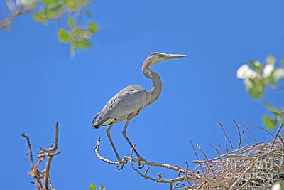 Great Blue Heron Nest Protector  Art Print