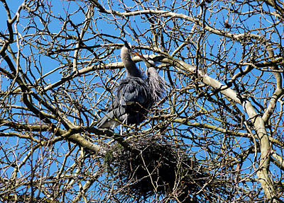 Photograph - Great Blue Heron Nesting 2016 - 3  by Terry Elniski