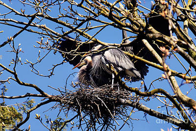 Photograph - Great Blue Heron Nesting 2016 - 5 by Terry Elniski