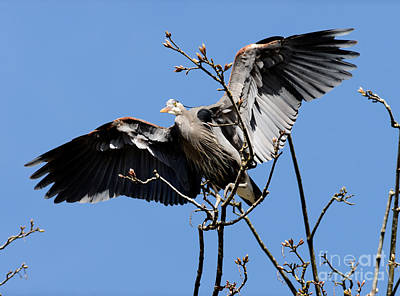 Photograph - Great Blue Heron Nesting 2016 - 6 by Terry Elniski