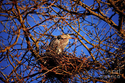 Photograph - Great Blue Heron Nesting 2017 - 4 by Terry Elniski