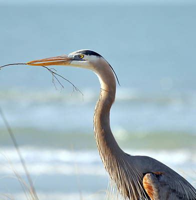 Great Blue Heron Nesting Art Print by Rose  Hill