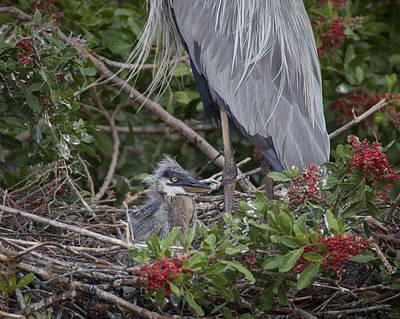 Great Blue Heron Nestling Art Print
