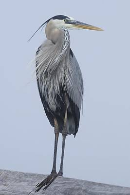 Photograph - Great Blue Heron On A Boardwalk Rail by Bradford Martin