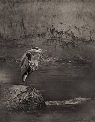 Photograph - Great Blue Heron On A Rock Sepia by Belinda Greb