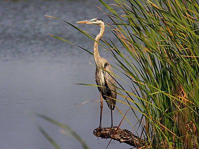 Photograph - Great Blue Heron On A Stump by Charles McKelroy