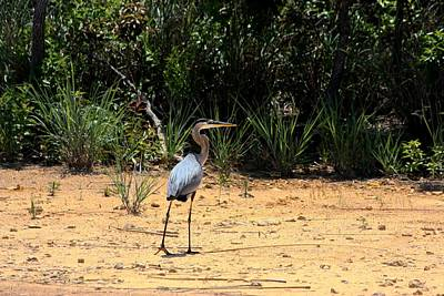 Art Print featuring the photograph Great Blue Heron On Beach by Sheila Brown