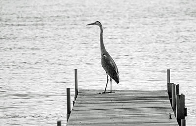 Great Blue Heron On Dock - Keuka Lake - Bw Art Print