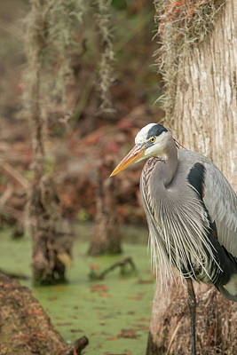 Photograph - Great Blue Heron On Guard by Dorothy Cunningham