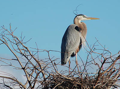Photograph - Great Blue Heron On Nest by Michael Raiman