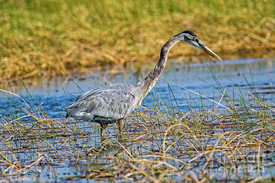 Photograph - Great Blue Heron On The Hunt by Bill And Deb Hayes