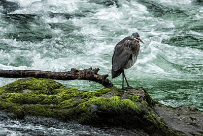 Photograph - Great Blue Heron On The Mckenzie, No. 1 by Belinda Greb