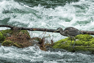 Photograph - Great Blue Heron On The Mckenzie, No. 3 by Belinda Greb