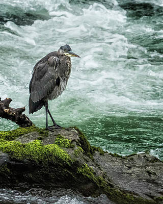 Photograph - Great Blue Heron On The Mckenzie Vertical by Belinda Greb