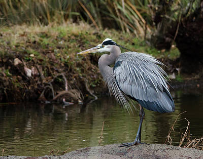 Great Blue Heron On The Watch Art Print by George Randy Bass