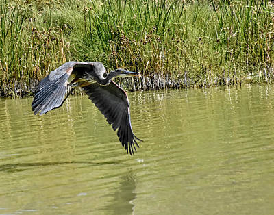 Photograph - Great Blue Heron On The Wing by Allen Sheffield