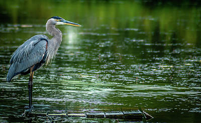 Great Blue Heron Print by Optical Playground By MP Ray