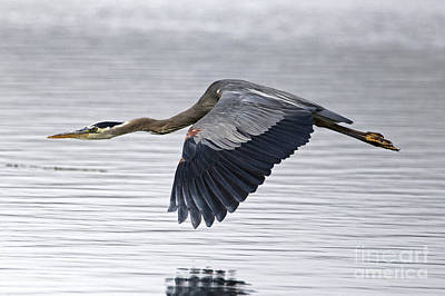 Photograph - Great Blue Heron Over Still Waters by Sue Harper