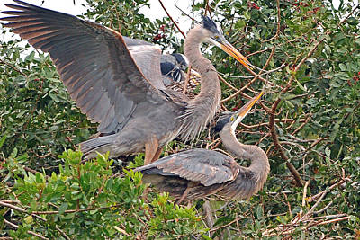 Photograph - Great Blue Heron Pair  by Alan Lenk