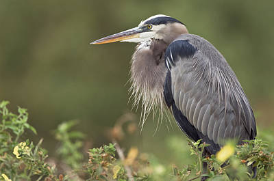Photograph - Great Blue Heron  by Patrick M Lynch