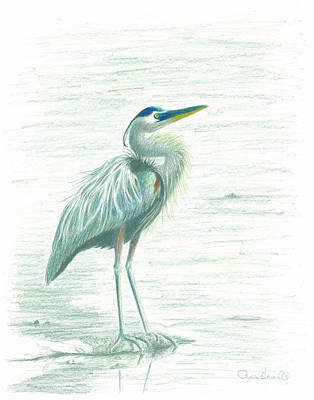 Drawing - Great Blue Heron by Phyllis Howard