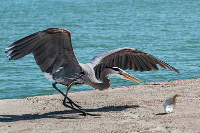 Photograph - Great Blue Heron Plays With Fish #1 by Patti Deters