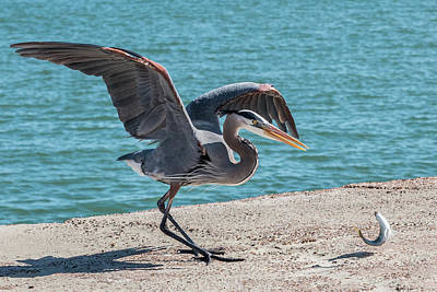 Photograph - Great Blue Heron Plays With Fish #2 by Patti Deters