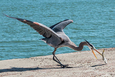 Photograph - Great Blue Heron Plays With Fish #3 by Patti Deters