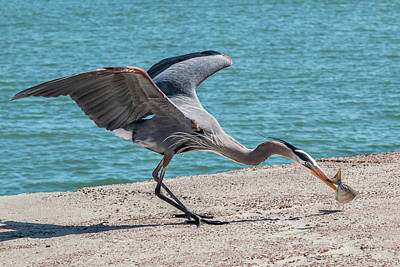 Photograph - Great Blue Heron Plays With Fish #4 by Patti Deters