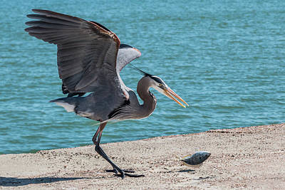 Photograph - Great Blue Heron Plays With Fish #5 by Patti Deters