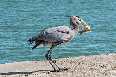 Photograph - Great Blue Heron Plays With Fish #6 by Patti Deters