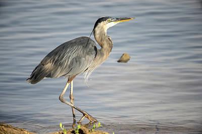 Photograph - Great Blue Heron Plodding Along by Douglas Barnett