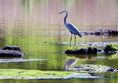 Photograph - Great Blue Heron - Pond Fishing by Brian Wallace