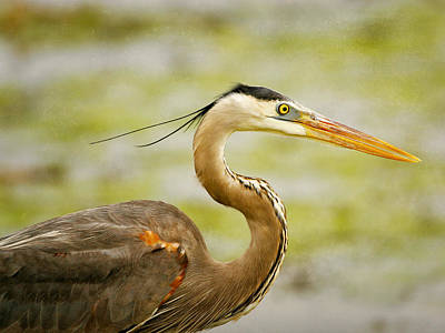 Photograph - Great Blue Heron Portrait by Charles McKelroy