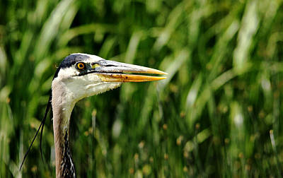 Photograph - Great Blue Heron Portrait by Debbie Oppermann