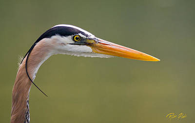 Photograph - Great Blue Heron Portrait by Rikk Flohr