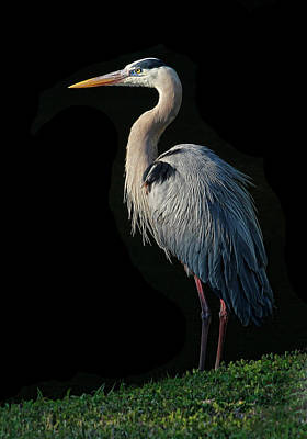 Photograph - Great Blue Heron Pose by HH Photography of Florida