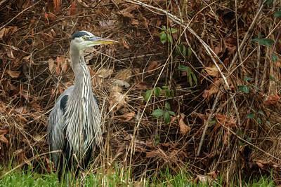 Photograph - Great Blue Heron Posing by Belinda Greb