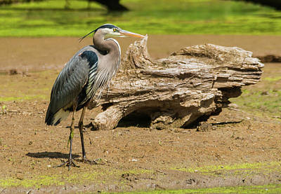 Photograph - Great Blue Heron Posing  by Edward Peterson