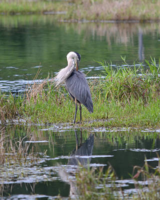 Photograph - Great Blue Heron Preening In The Wind by rd Erickson