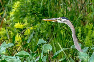 Photograph - Great Blue Heron Profile by Cheryl Baxter