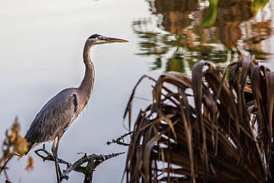 Photograph - Great Blue Heron by Randy Bayne
