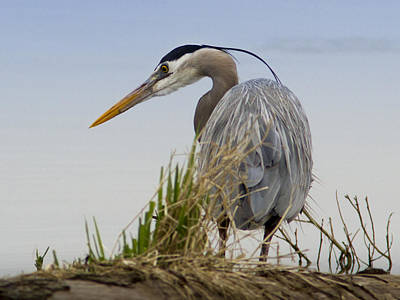Photograph - Great Blue Heron Ready To Strike by Jean Noren