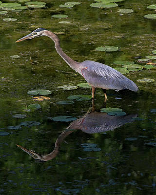 Photograph - Great Blue Heron - Reflections by Ron Grafe