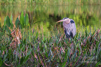 Photograph - Great Blue Heron by Rene Triay Photography