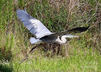 Photograph - Great Blue Heron Retreat by Carol Groenen