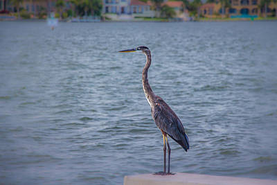 Photograph - Great Blue Heron by Richard Goldman