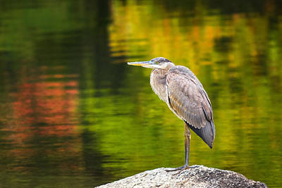 Photograph - Great Blue Heron by Robert Clifford