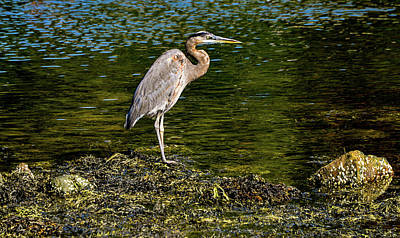 Photograph - Great Blue Heron, Rockland Harbor, Maine by Marilyn Burton